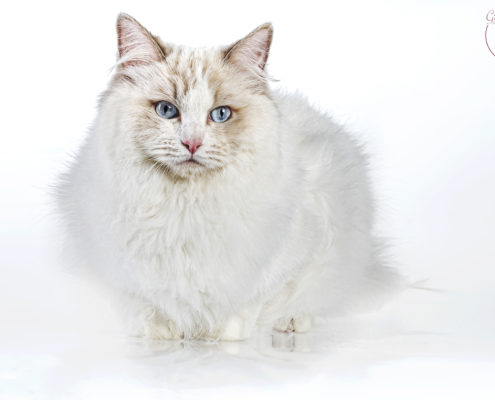 Katzen Zucht Ragdoll Future Dream